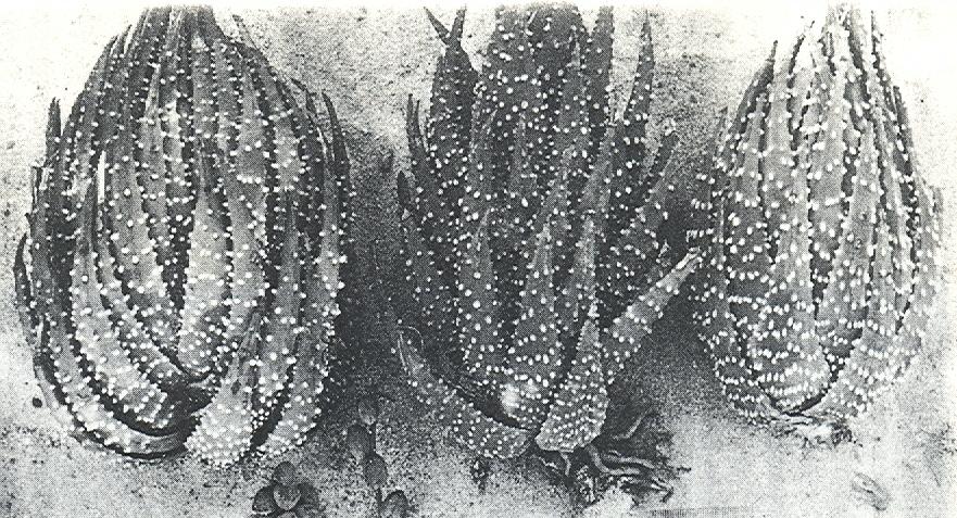 Fig.1 H. margaritifera(L.)Haw. Karoo garden, Worcester. Three typical large plants.