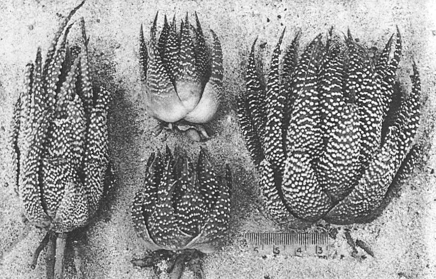 "Fig. 2. Left: ""H. poellnitziana Uitew."" 3m NW Drew.  Centre: H. minima Haw., S Bredasdorp, small coastal form.  Right: H. minima NE Riversdale, larger inland form."