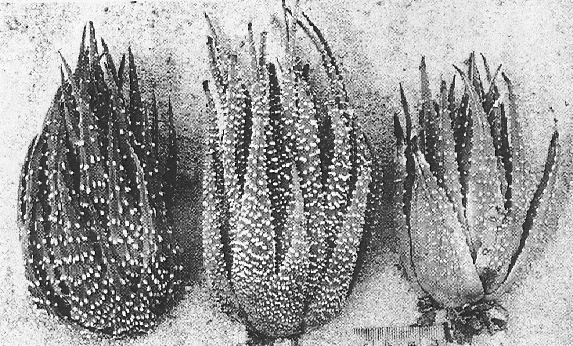 """Fig. 3. Left: H. margaritifera (L.) Haw., 8 m. SE of Drew.  Centre: 'H. poellnitziana' 3 m. N.W. of Drew.  Right: """"H. poellnitziana""""  from the type locality at Drew.  Note keel at leaf tips, typical of H. margaritifera x marginata hybrids."""