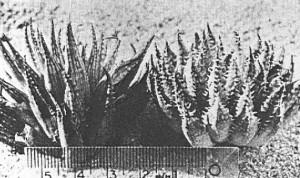 Fig. 2.  lt. KG218/70 Mowers Halt. rt KG 219/70 Ribbokkop.