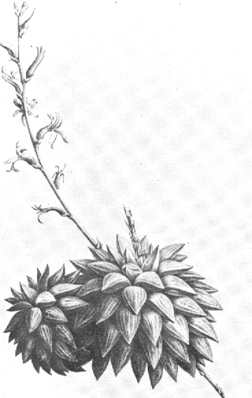 Fig. 1 Haworthia turgida Haw. as illustrated in Salm-Dyck, Sect.9, t.5 (1837).