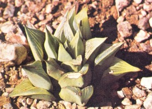 """Fig. 5 H. foucheii VPoelln.  A 5-tiered (vertical) specimen from the type locality """"Blinkbonnie"""", Riversdale. (= H. retusa)."""