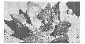 Fig. 2.  H. mirabilis var beukmannii, Skuitsberg.