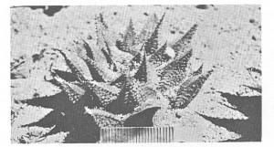Fig. 4. H. mirabilis, Genadendal.