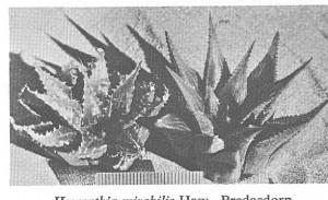 Fig. 6. H. mirabilis var sublineata, Bredasdorp.