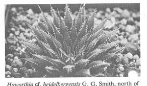 Fig. 7. H. heidelbergensis var. minor N. Bredasdorp.
