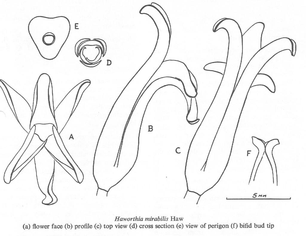 Fig. 1.  Haworthia mirabilis Haw. (a) flower face; (b) profile (c) top view (d) cross section (e) view of perigon (f) bifid bud tip.