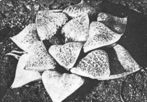 Fig.12. H. comptoniana Smith from west of Willowmore KG 114/72)  (H. emelyae var comptoniana).