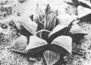 Fig.4. Haworthia emelyae v. Poelln. Between Vanwyksdorp and Garcias Pass (KG 138/72).