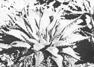 Fig.7. Haworthia emelyae var. multifolia Bayer. Also KG 163/71.