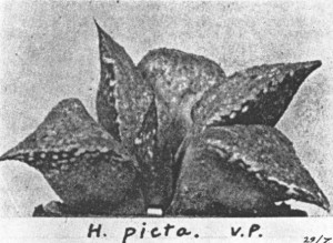 Fig.8. Haworthia emelyae v. Poelln. This photograph is the pictotype of H. picta v. Poelln. as illustrated in Desert Plant Life 1938.