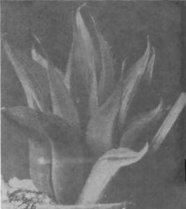 Fig. 1. Haworthia mirabilis Haw. illustrated as H. nitidula v Poelln. in Desert Plant Life 11:192 (1939).