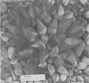"""Fig. 10. Haworthia turgida Haw., GGS 5044, """"H. nitidula var. C., Heidelberg, Beukman. = 3904 but larger, tip area more rounded, leaves not as acuminate as nitidula, end awn more deciduous, marginal and keel teeth longer, 5—6 face lines""""."""