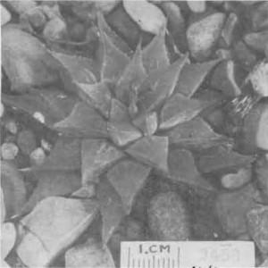 "Fig. 11. Haworthia emelyae V. Poelln., GGS 3458, ""H. nitidula var. H., Muiskraal, Riversdale, Otzen"". = 3830a but leaves more acuminate, 2—4 lines none reaching tip, back flecked like nitidula, much smaller""."