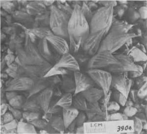"Fig. 5. Haworthia mirabilis Haw., GGS 3904, ""H. nitidula var. B. Bredasdorp, Venter 24. = 3907, but darker green, tip area more retused, flatter, 5 face lines, 1 keel, no flecks on back""."