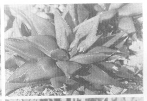 Fig 3. Haworthia agustifolia f. baylissii  (Scott) Bayer from Oudekraal. Somerset East, the type locality.