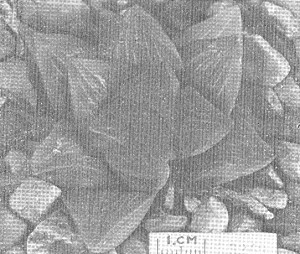 "Fig. 3. GGS 3249 Haworthia mutica Haw. from Stormsvei – ""H. retusa var. K. Smith"". (Smith wrote that the locality was probably wrong and that the plant was probably ex Riviersonderend)"