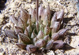 Fig. 9. MBB6815.2 H. maculata. Audensberg.