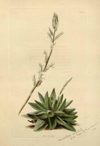 H. reticulata 145909