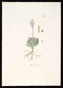 H. reticulata 61932