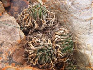 10.11 7995 H. herbacea, S Brandvlei Brickfield