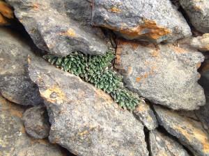10.16 7995 H. herbacea, S Brandvlei Brickfield