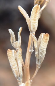 10.19 7995 H. herbacea, S Brandvlei Brickfield