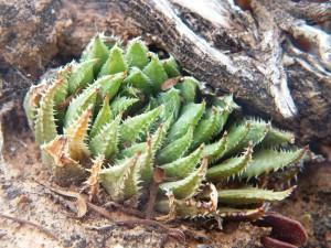10.5 7995 H. herbacea, S Brandvlei Brickfield