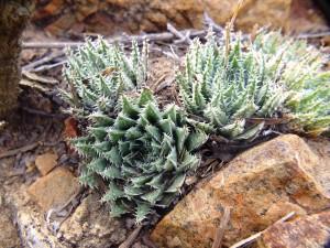 10.6 7995 H. herbacea, S Brandvlei Brickfield