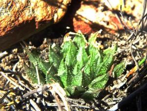5.1 7991a H. maculata, Ouhoekberg E