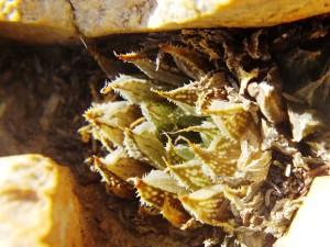 5.10 7991a H. maculata, Ouhoekberg E