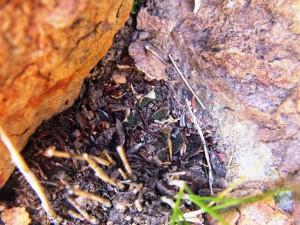 5.15 7991a H. maculata, Ouhoekberg E