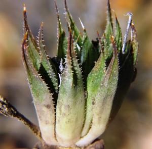 5.22 7991a H. maculata, Ouhoekberg E