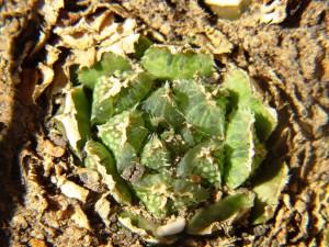 5.3 7991a H. maculata, Ouhoekberg E