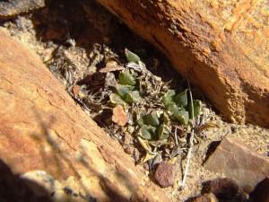 5.32 7991b H. maculata, Ouhoekberg