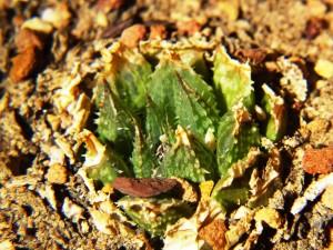 5.4 7991a H. maculata, Ouhoekberg E