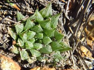 5.5 7991a H. maculata, Ouhoekberg E
