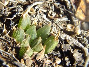 5.6 7991a H. maculata, Ouhoekberg E