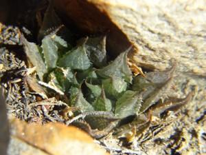 5.8 7991a H. maculata, Ouhoekberg E