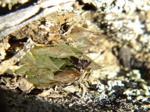 6.12 H.  mirabilis notabilis, Buitenstekloof