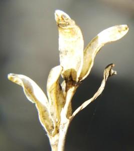 6.25 H.  mirabilis notabilis, Buitenstekloof