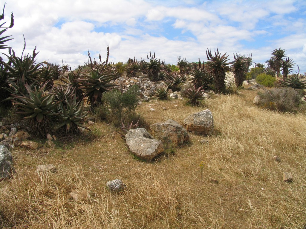 MBB7935.12 Langvlei  The plants are in a tiny bit of rock just beyond the dumps.