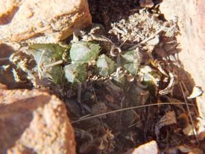 8.1 7992 H. maculata, Hammansberg