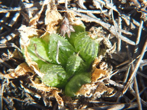 8.16 7992 H. maculata, Hammansberg W