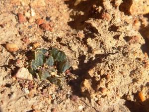 8.3 7992 H. maculata, Hammansberg