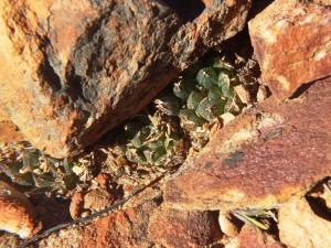 8.4 7992 H. maculata, Hammansberg
