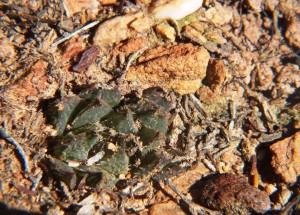 8.6 7992 H. maculata, Hammansberg