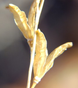 9.16 7997 H. pubescens, Dewetsberg