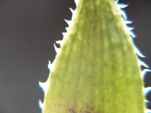 9.26 7996 H. pubescens, E Brickfield