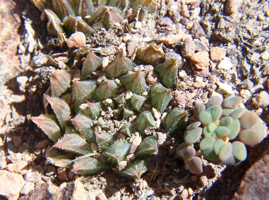 MBB7526.1 H.maculata. Die Nekkies, Brandvlei Dam.